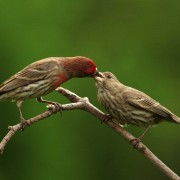 Carpodacus_mexicanus_-John_Heinz_National_Wildlife_Refuge_at_Tinicum,_Pennsylvania,_USA-8