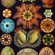 Haeckel_Ascidiae
